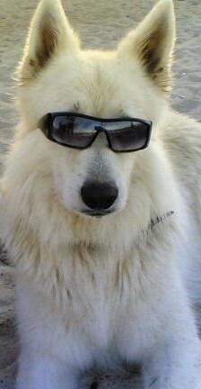 Ska - Weisser Schäferhund mit Sonnenbrille